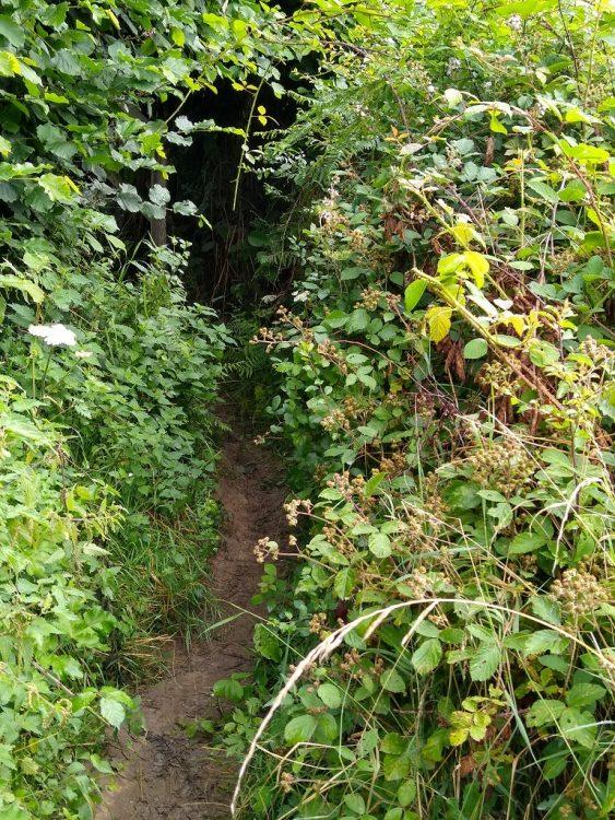 A bramble covered footpath